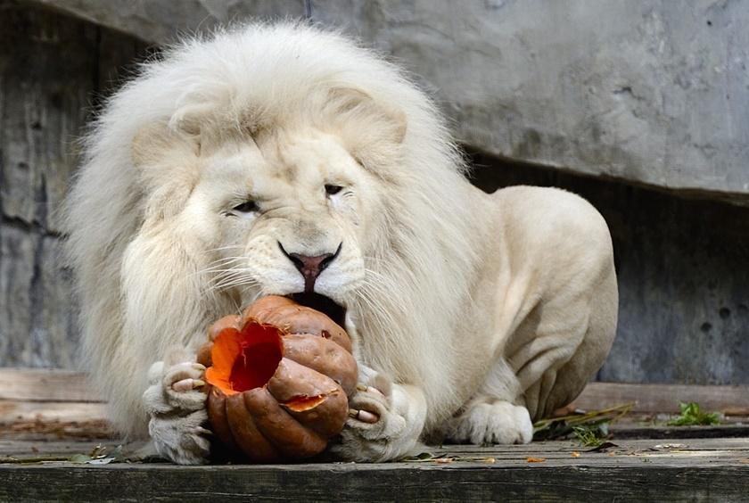 Белый лев и тыква, фаршированная курицей