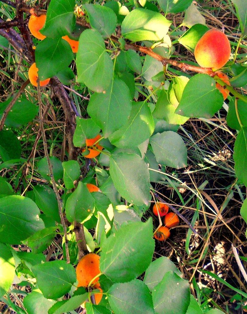 Свежесть летних плодов