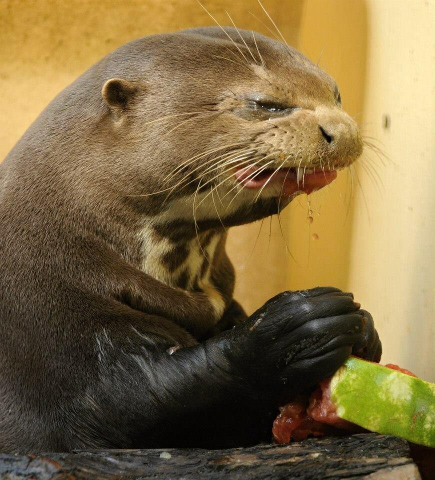 Выдра ест арбуз