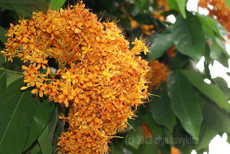 Saraca cauliflora (Сарака стволоцветная)