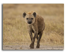 Кения. Hyena in amboseli national park. Фото faabi - Depositphotos