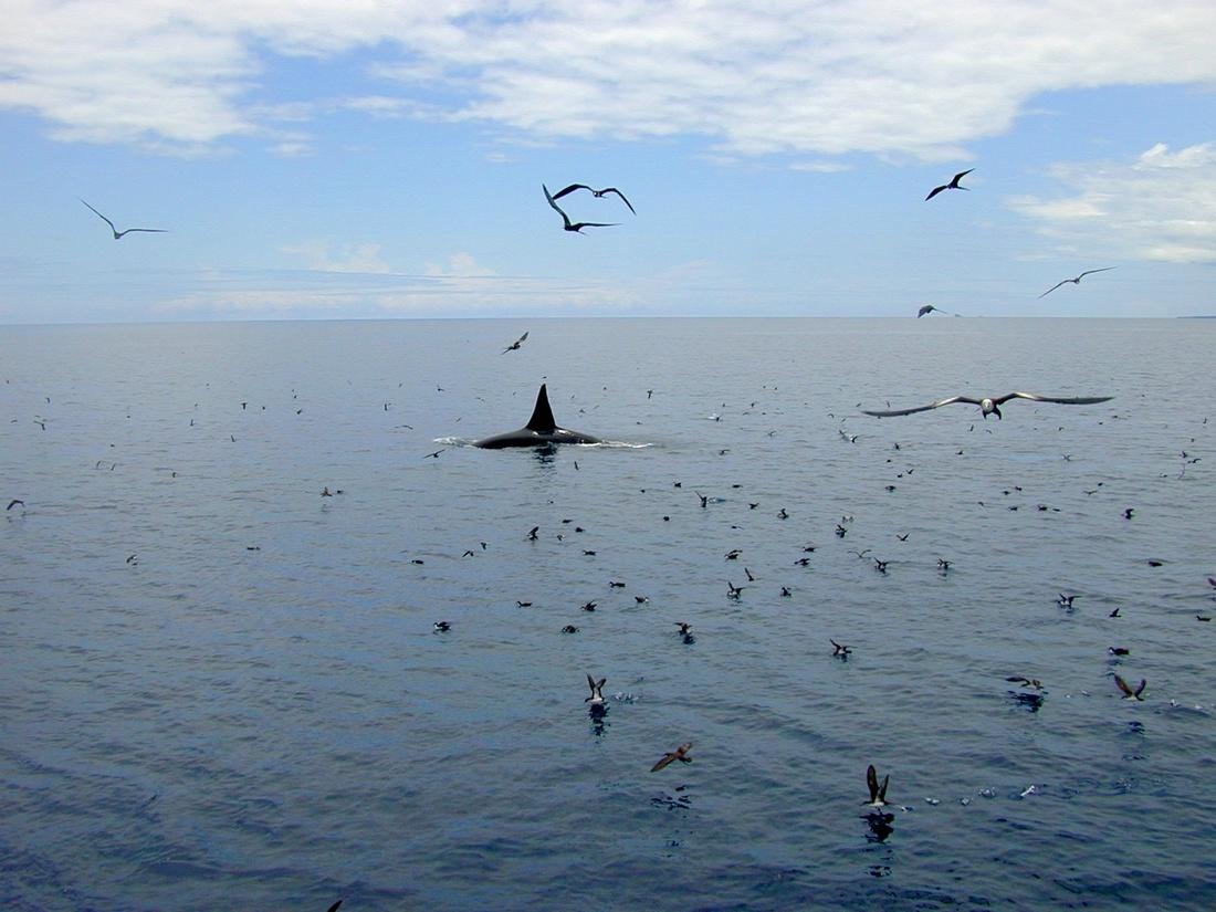 Orcinus orca Linnaeus, 1758 ()