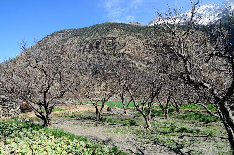 голые - предположительно - яблони в садах Марпы, Непал