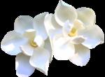 magnolia 19.png