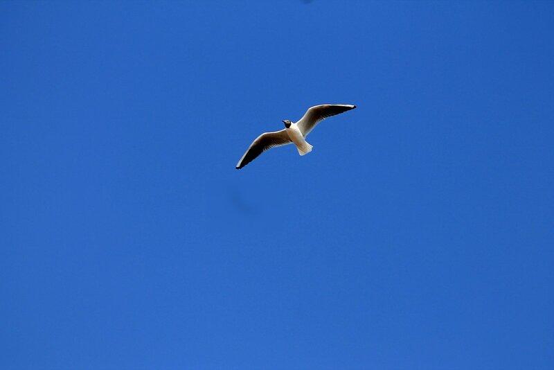 Озёрная чайка в полёте IMG_4505