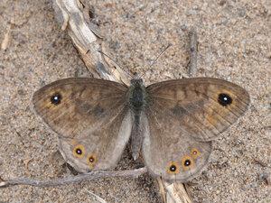 s:бабочки,s:дневные бабочки,c:желтовато-коричневые,c:буро-коричневые
