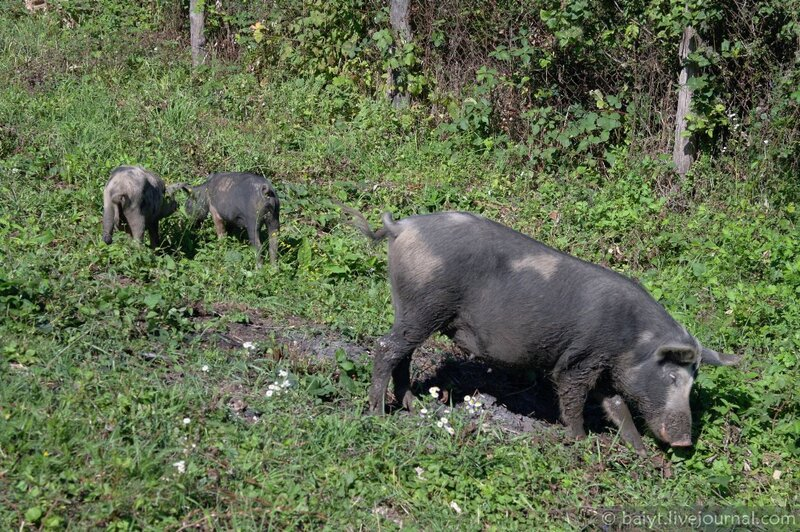 Рачинские свинки