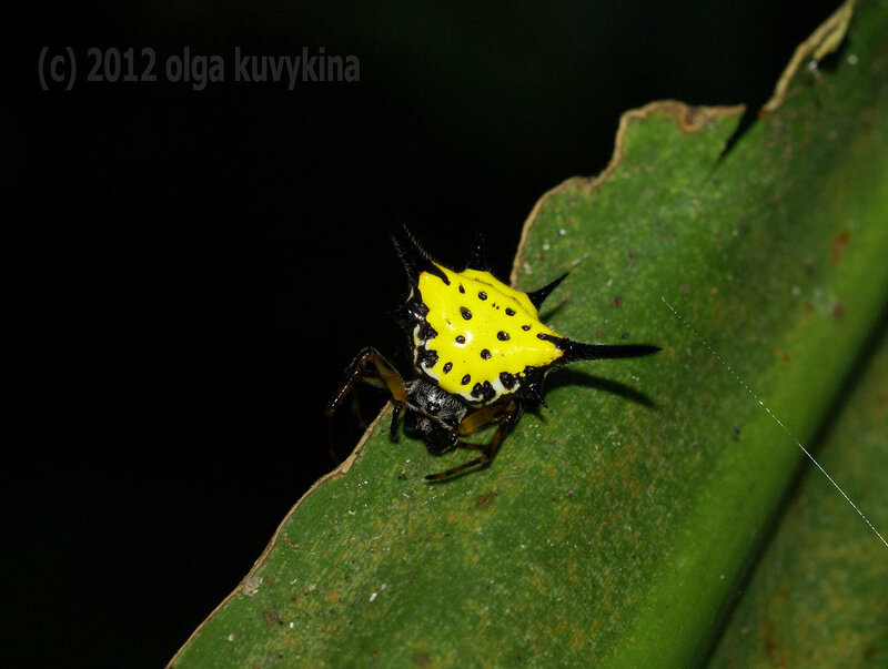 Hasselt`s Spiny Spider (Gasteracantha hasselti)
