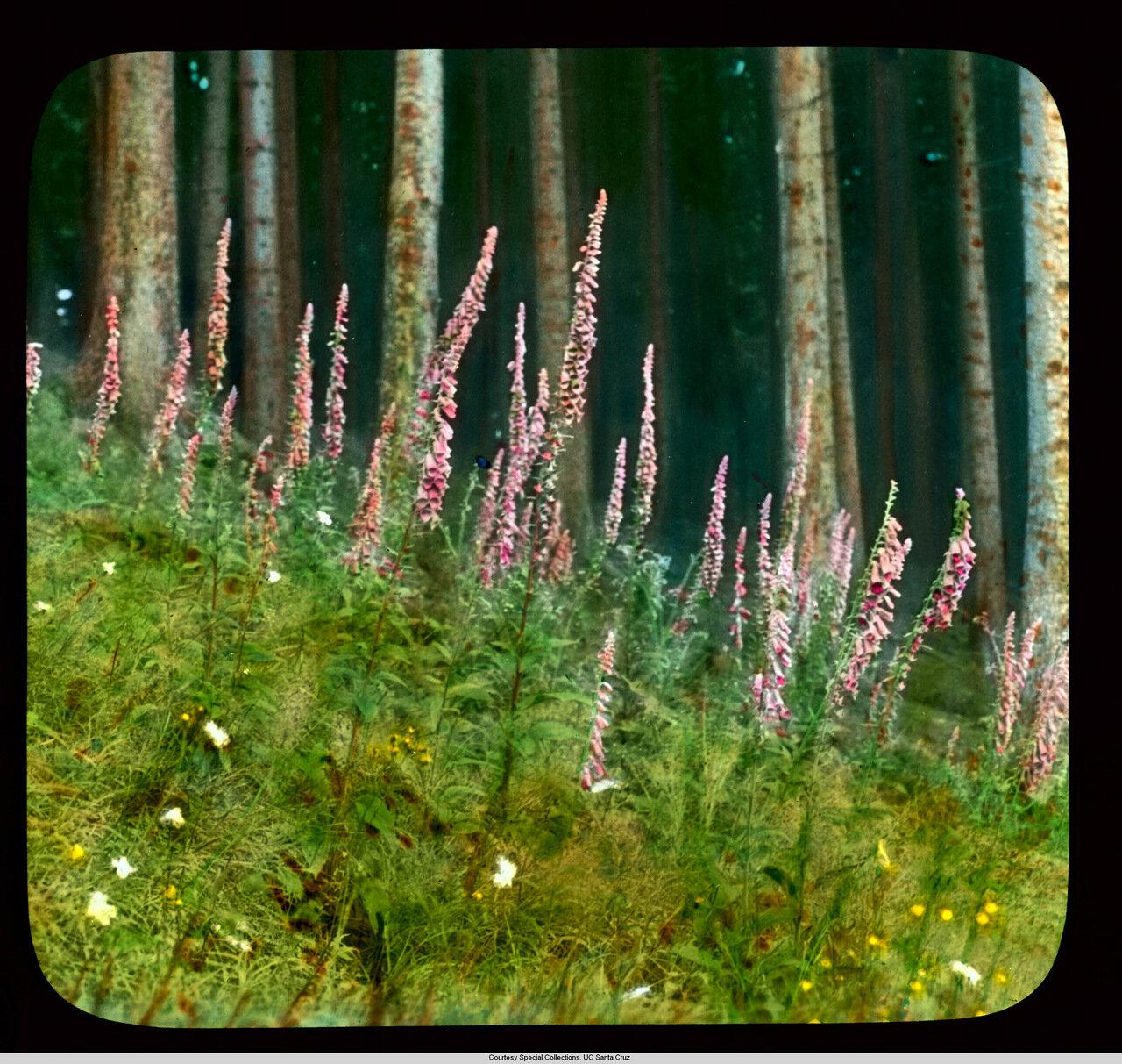 Цветы Германии. Наперстянка пурпурная растушая в Черном лесу