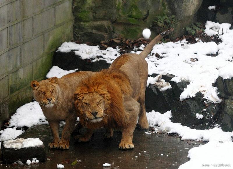www.Go2life.net • Китай. Посетители зоопарка забросали львов снежками