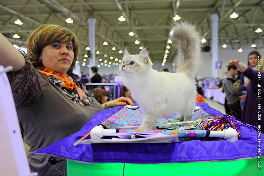 содружество выставка кошек Сибирская (Невская маскарадная)