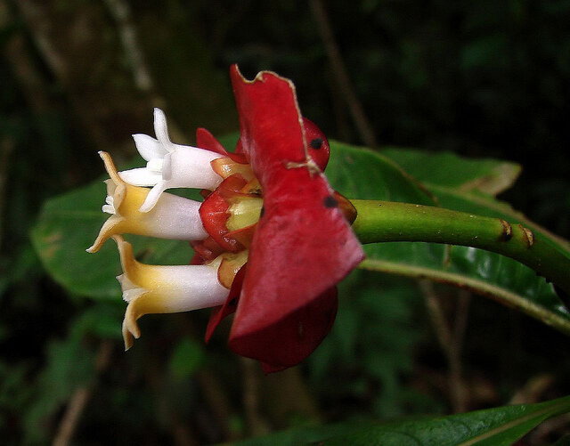 Фото орхидея шлюхины губки