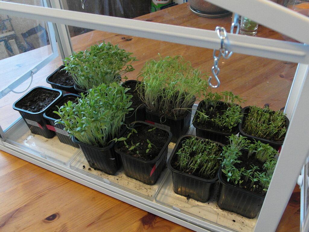 КОРИАНДР - Выращивание на балконе и лоджии - Огород в квартире