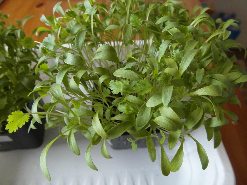 Выращивание кинзы на балконе 26