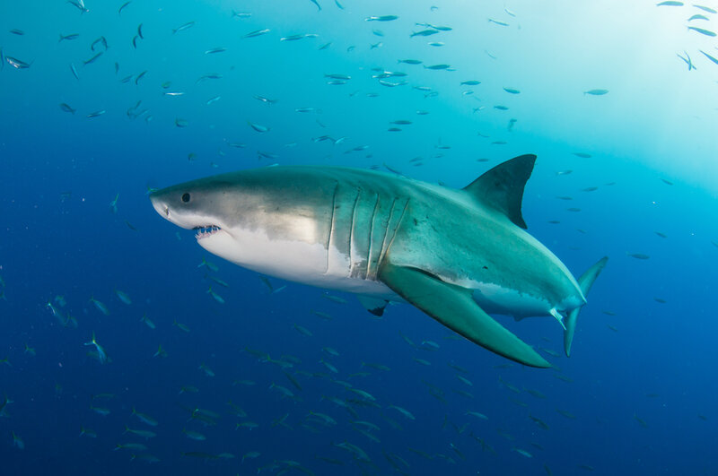 Great White shark in deep water surrounded by fish