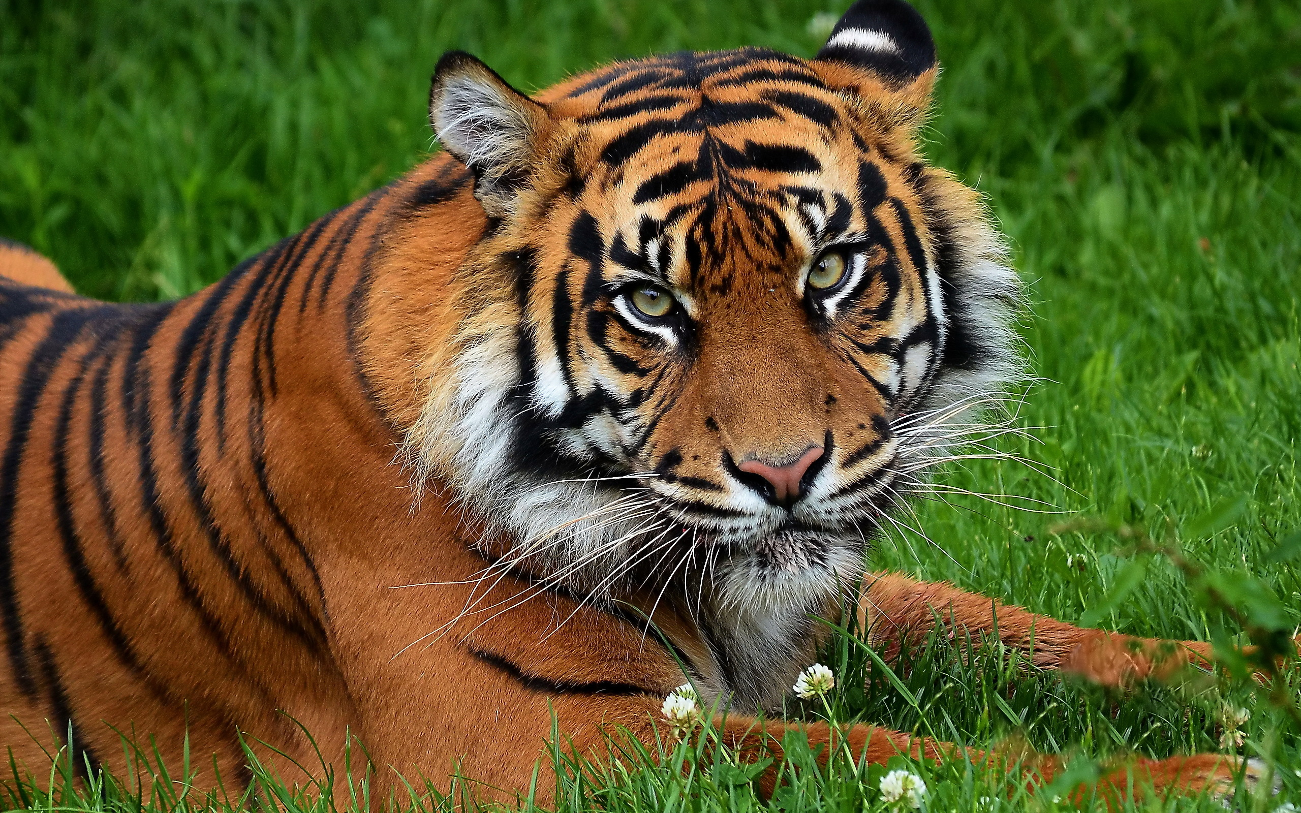 Тигр, трава, взгляд