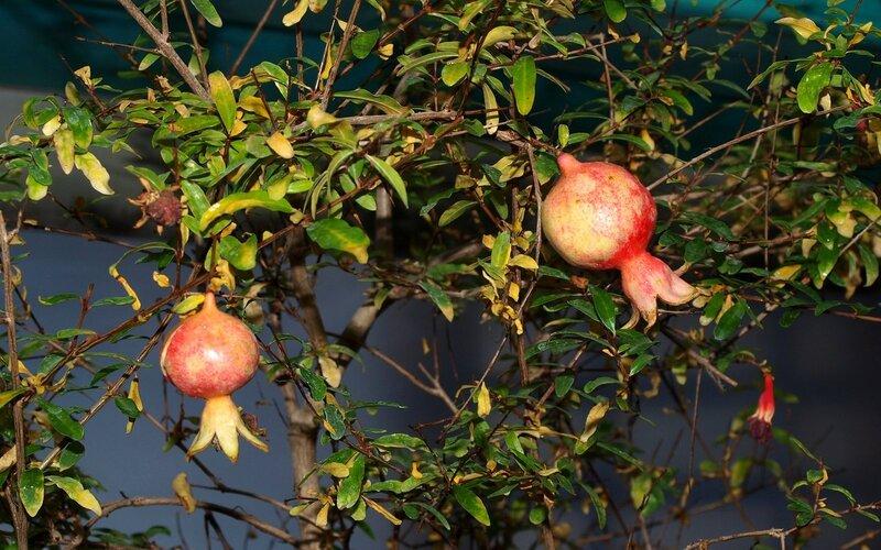 плоды Граната декоративного (Punica)
