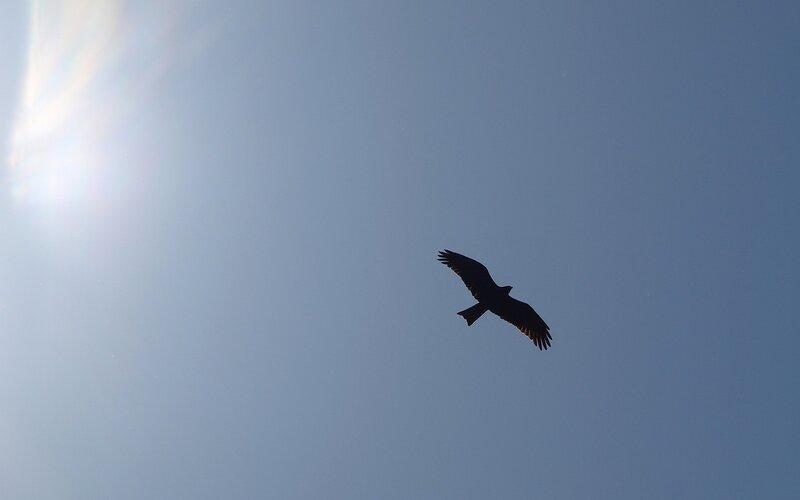 Чёрный коршун (Milvus migrans) P5172931.jpg