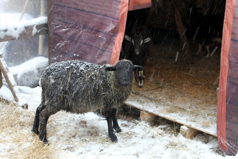 Овца и коза в мини-зоопарке на Крещатике