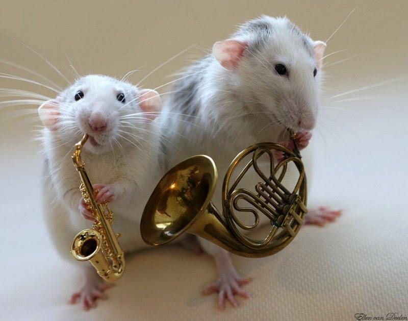 Декоративные крысы. Содержание, разведение, уход (фото, видео) 0_a4b09_90a282fc_orig