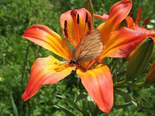 Лилия с бабочкой.