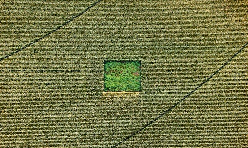 Сад каннабиса посреди кукурузного поля