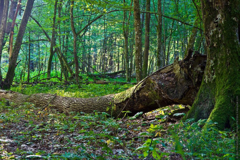 7. Во время Второй Мировой немцы вырубили большую часть реликтовых дубов Беловежской пущи, испо