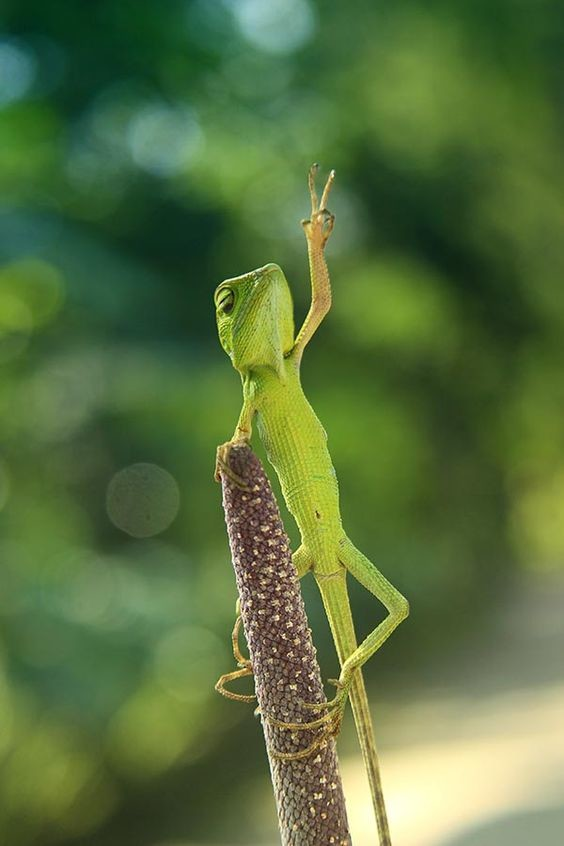 Иногда у ящерицы заново отрастает не один, а два или три хвоста:
