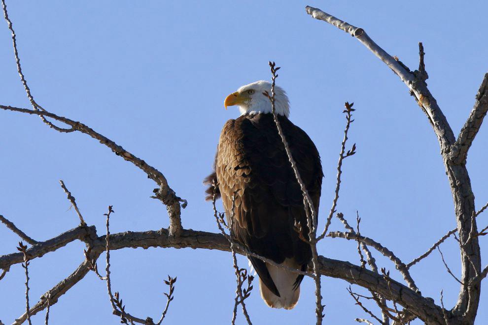 4. «Лысый орел» обитает преимущественно в Канаде и США, местами проникая в северные штаты Мекси