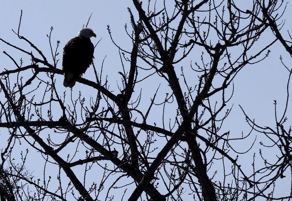 16. Белоголовый орлан. Он же «лысый орел».