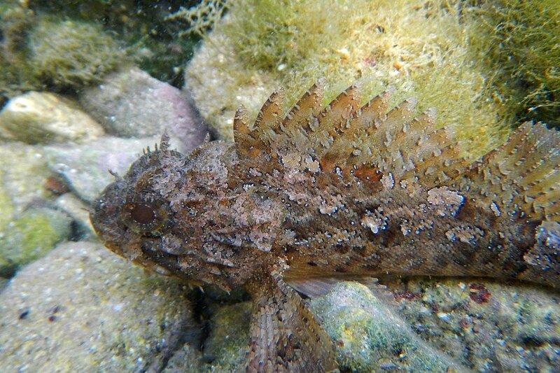 Морской ёрш, или черноморская скорпена (Scorpaena porcus) с колючками и пятнами на коже среди камней и водорослей в бухте Омега (Севастополь, Крым)