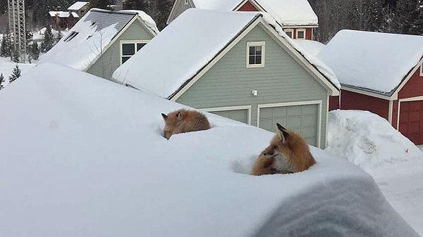 В Колорадо после обильного снегопада лисы запросто забираются на крышиВ Колорадо после обильного снегопада лисы запросто забираются на крыши