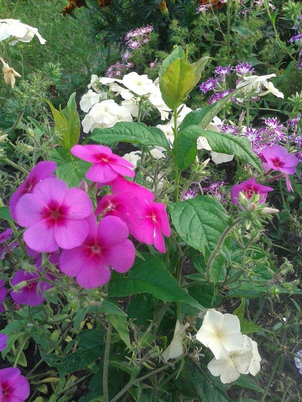 Каменный цветок эхеверии