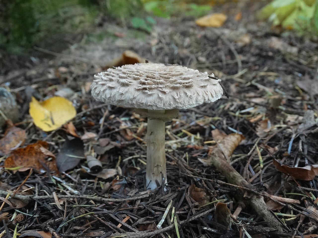 Гриб-зонтик лохматый (Chlorophyllum rachodes). Автор фото: Привалова Марина