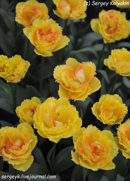 Tulipa Vaya Con Dios (4).JPG