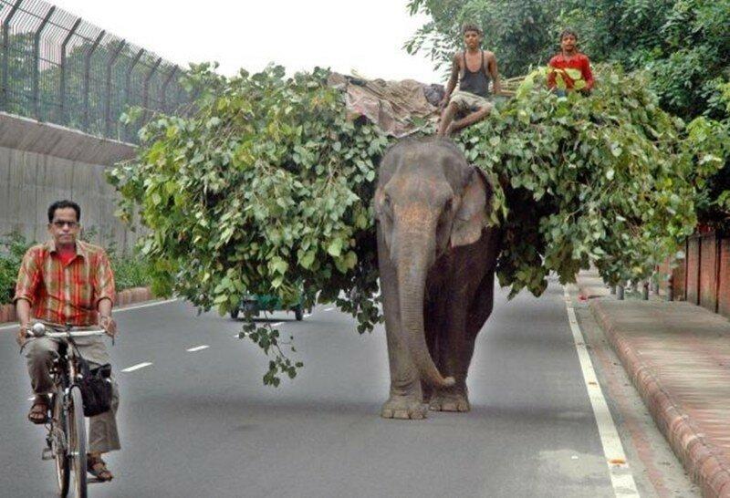 Фотографии слонов на улицах Индии