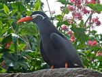 Крачка инки: птица с великолепными усами