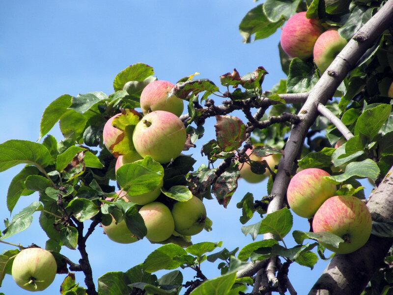 Городская яблоня