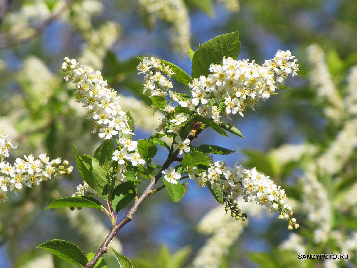 Как цветёт черёмуха?