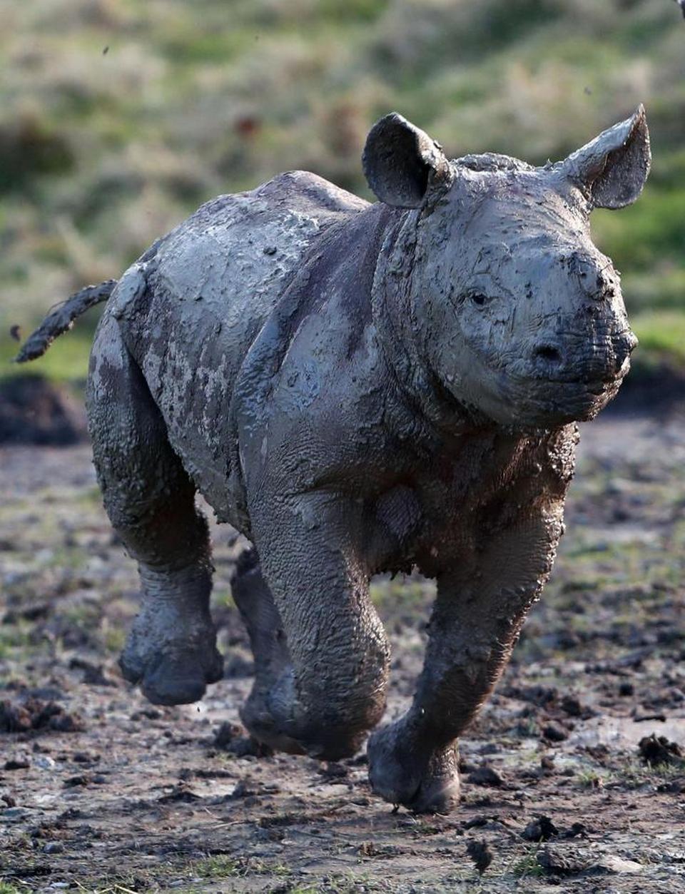 Прелестный детеныш носорога резвится в грязи