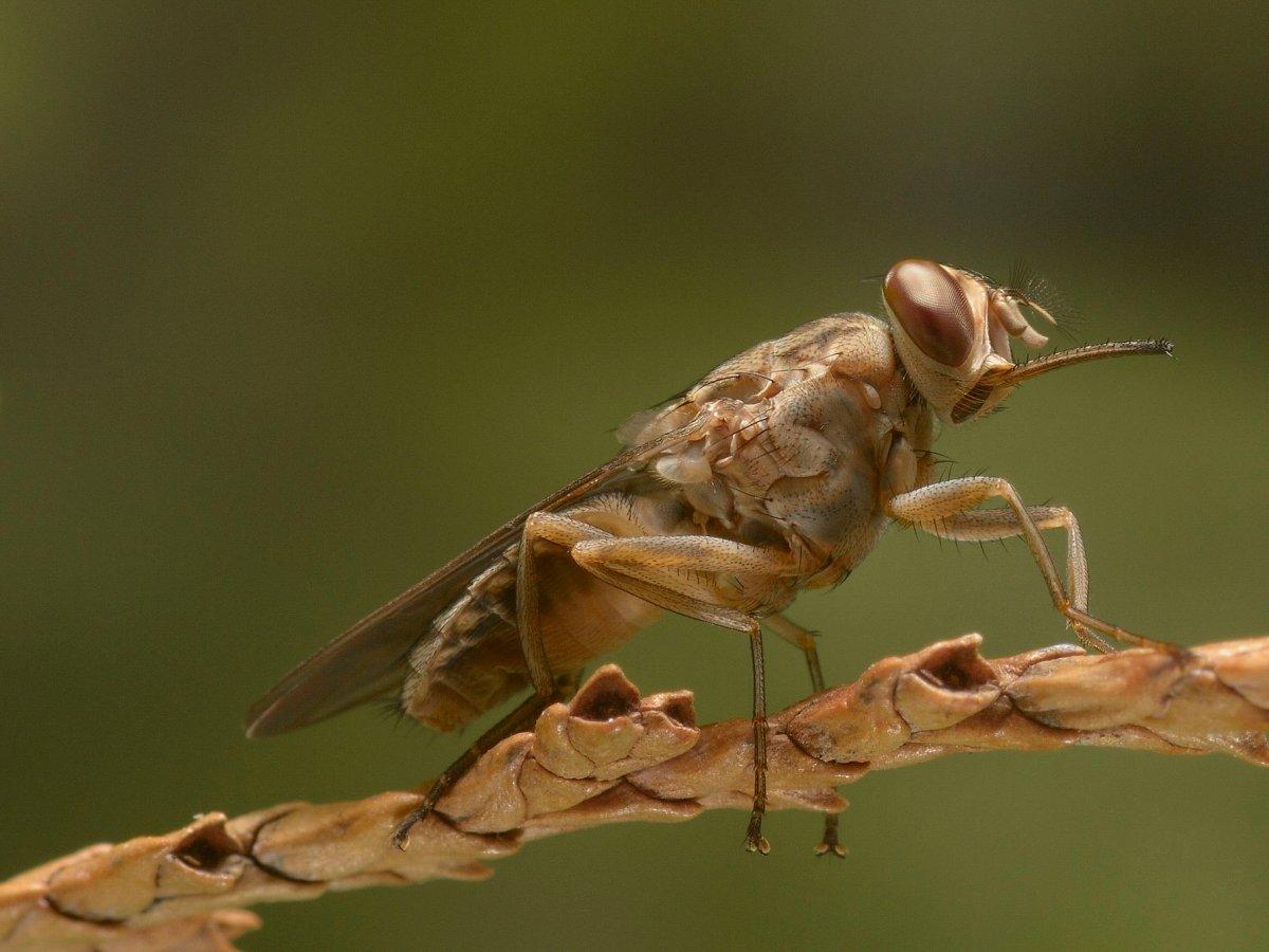 Мухи цеце — 10 тысяч смертей в год Муха цеце является переносчиком сонной болезни — паразитической и
