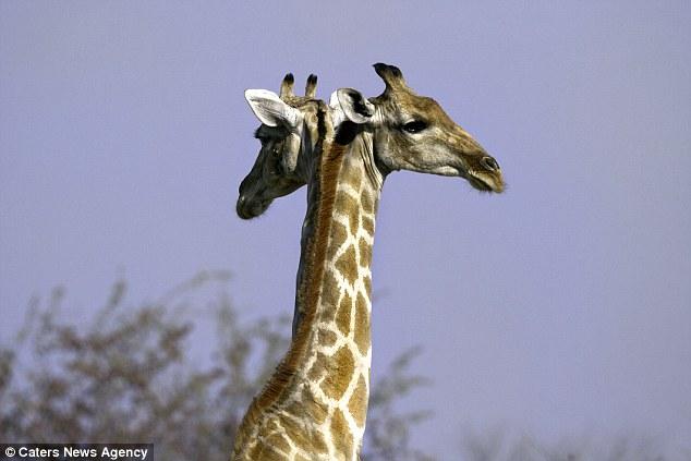 Раздвоение жирафьей личности.