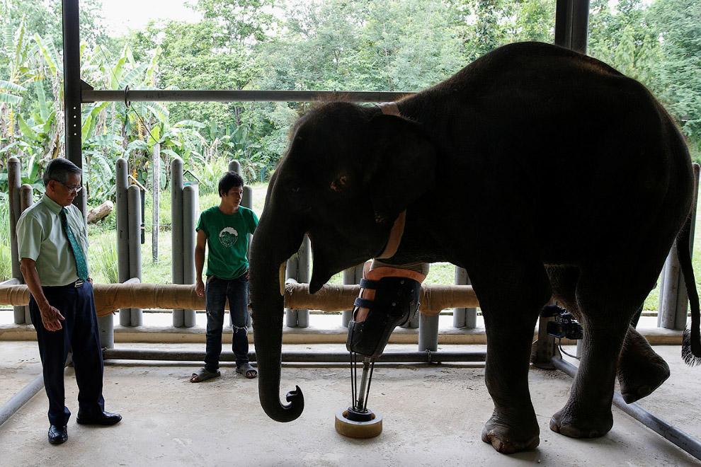 7. Искусственную ногу приходится иногда отстегивать. Для профилактики. Это уже другой слон, Мо