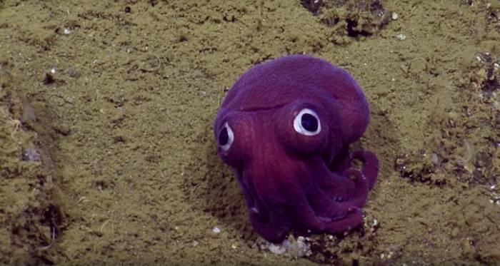 2. E/V Nautilus, команда, которая заметила существо, позже выяснила, что оно называется Тихоокеанска