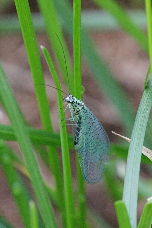 Златоглазка (Chrysoperla) на травинке: зелено-голубое насекомое с черными полосками, обладающее золотыми глазами и большими ажурно-сетчатыми крыльями