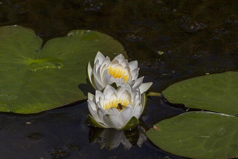 Яркий звёздчатый цветок кувшинки белой (лат. Nymphaea alba) на Чёрном озере в Кирове