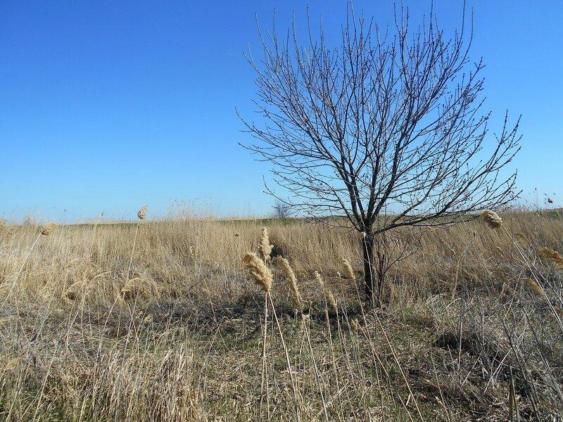 Камыш и дерево... Простор ... DSCN1582.JPG