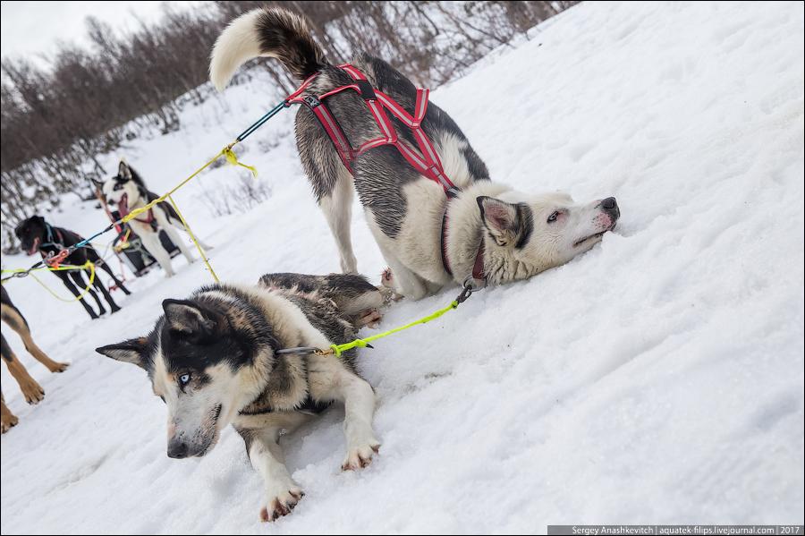 Ездовые собаки в Норвегии
