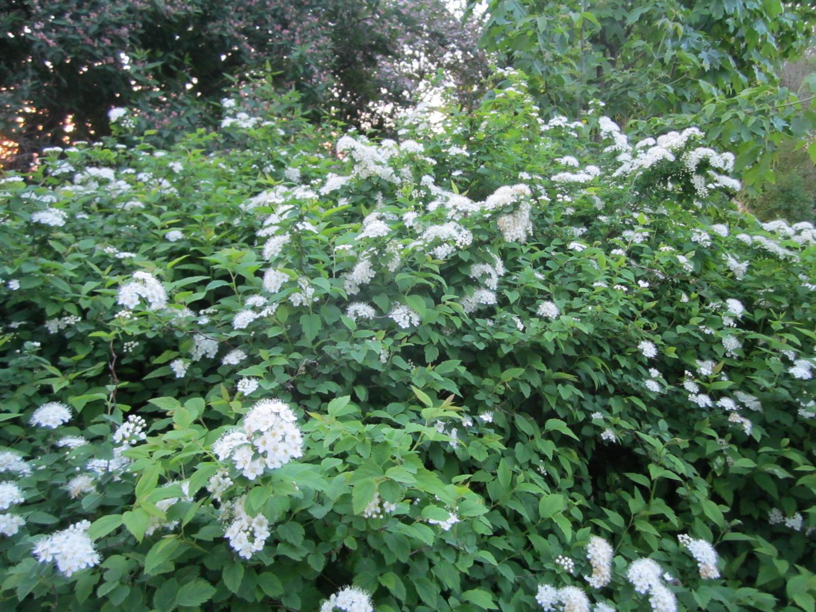 Кустарники с цветками 61