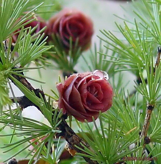картинка лиственницы с шишками